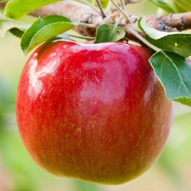MN55 - This sweet dessert apple is excellent eating as it is both low in acid and tannins. It also has some nice citrus notes that are a favorite of ours in blending.