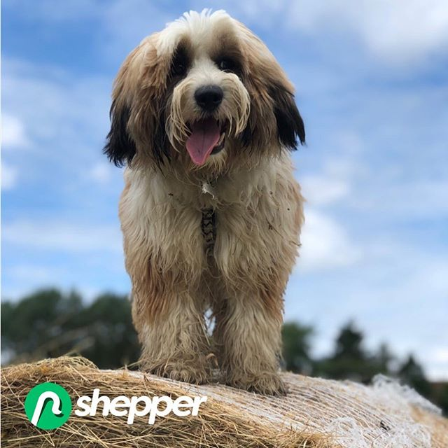Hi i'm @tashibear_tibetan I'm our French Sales Manager Charly's doggy and I help out where I can in keeping an eye on assets that are checked by Shepper. Interested in finding out more about our Smart Asset Checks? Head over to the Shepper website now. Link in bio. Woof! #shepperfamily #happythursday #dogsofinstagram #dog #dogoftheday #proptech #insurtech #gigeconomy #flexiblework #sidehustle #startuplife #tibetanterrier #tibetanterriersofinstagram #shepper