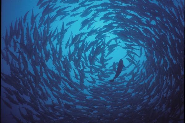 Tiger.Blue.Diving.jpg