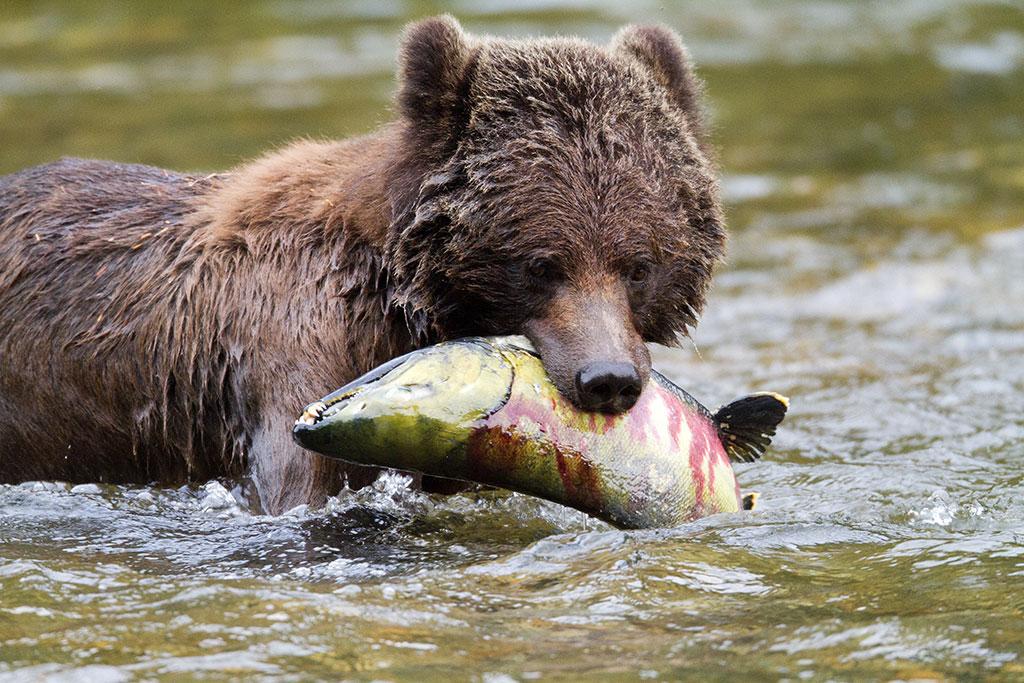 Canada-BearwithSalmon.jpg