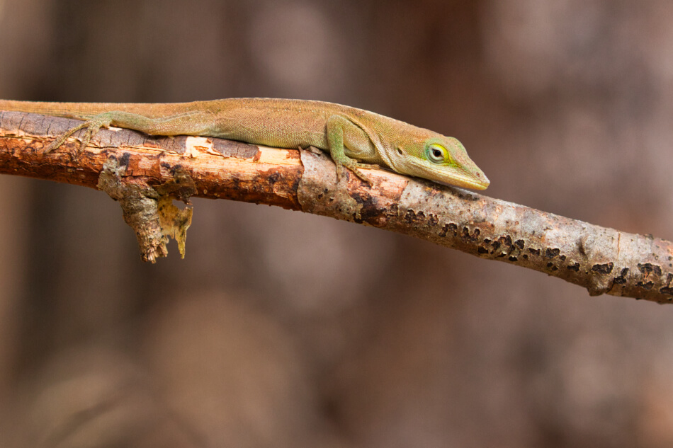 Green Anole - Arkansas