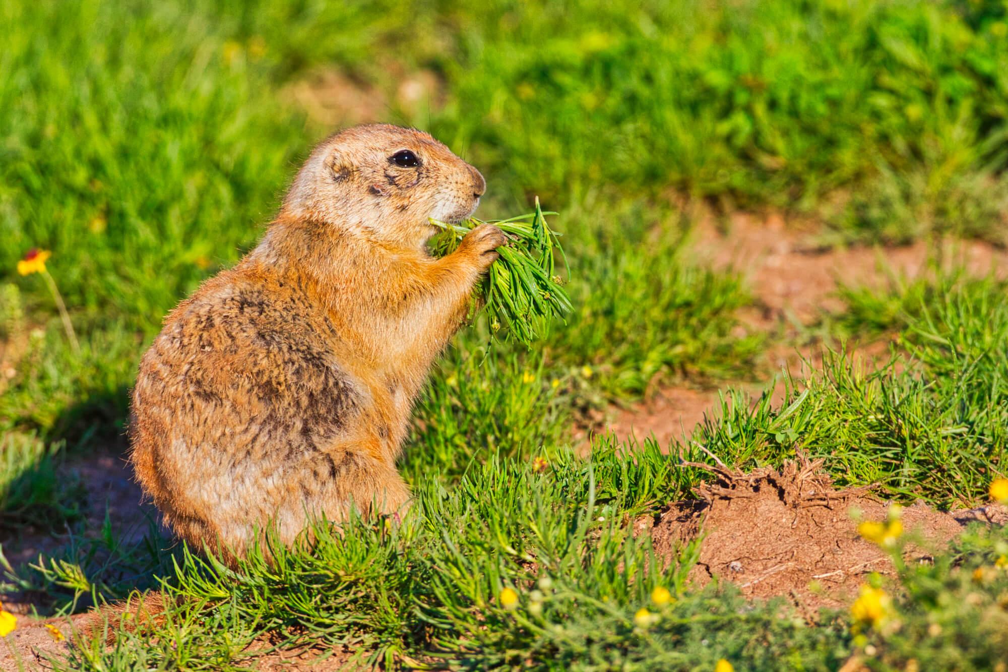 Black-tailed Prairie Dog Eating