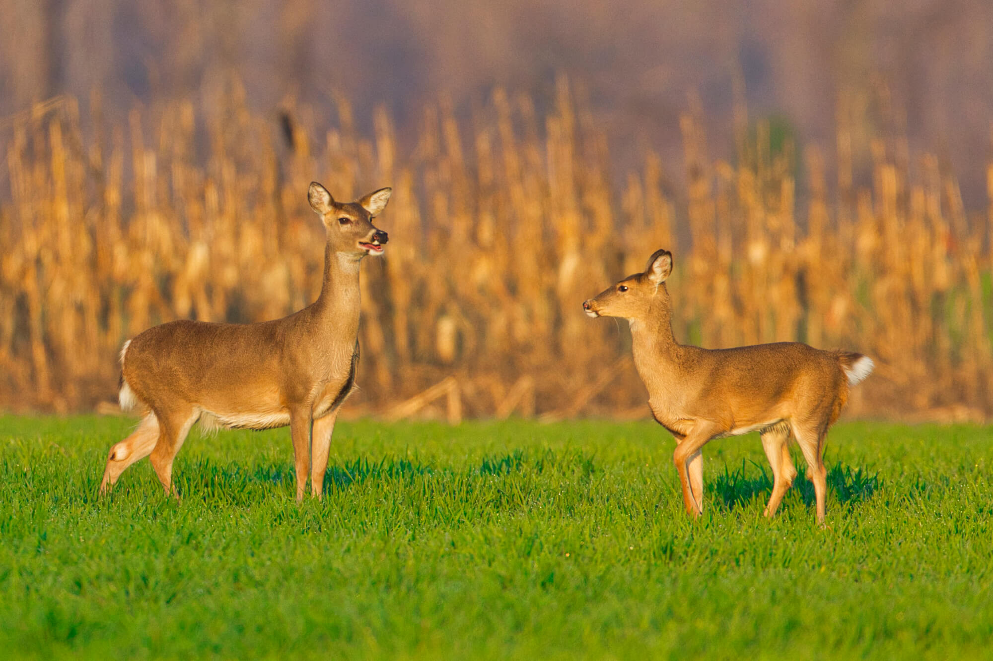 Two Whitetail Does
