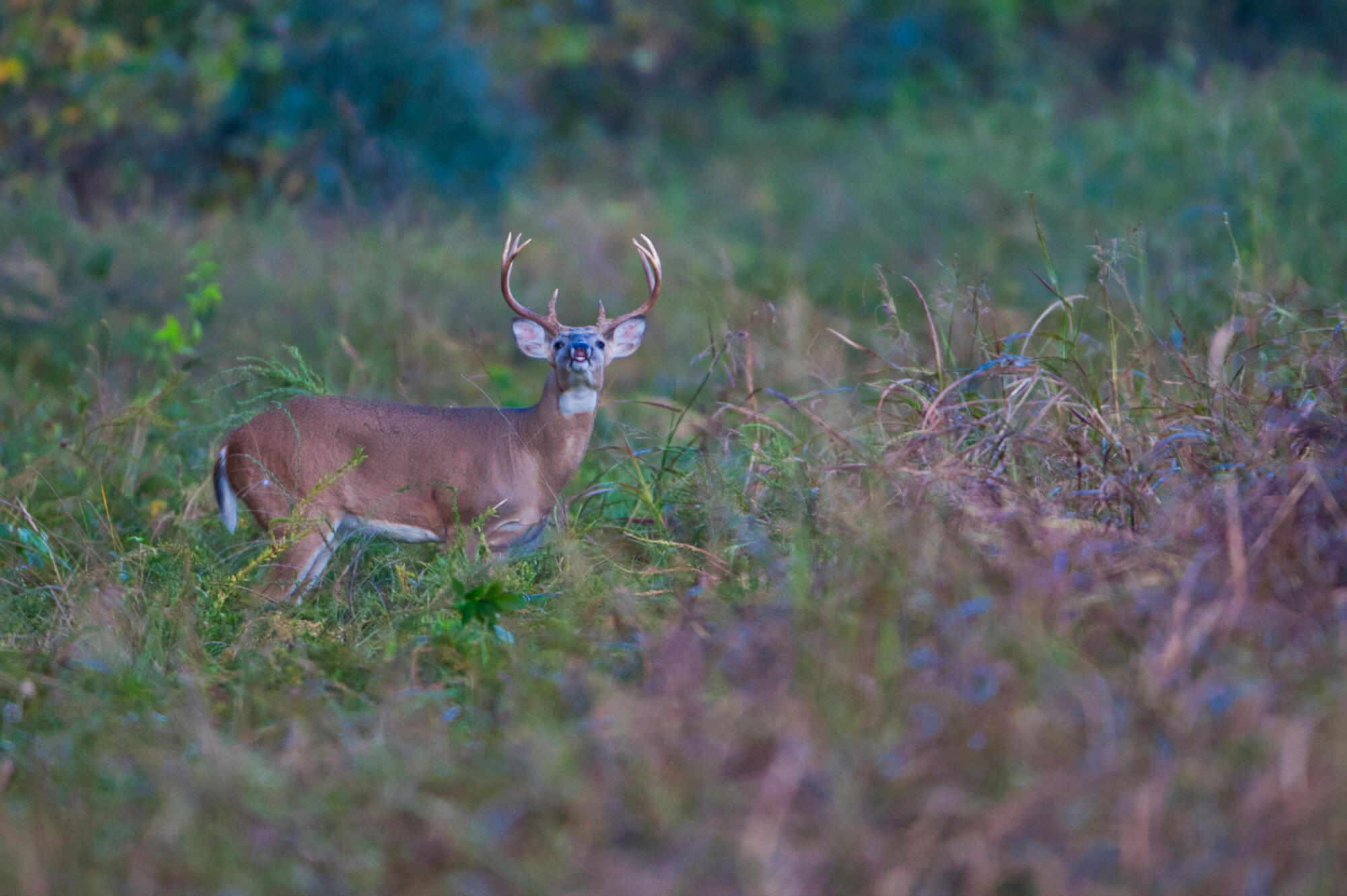 Whitetail Buck Scent Checking