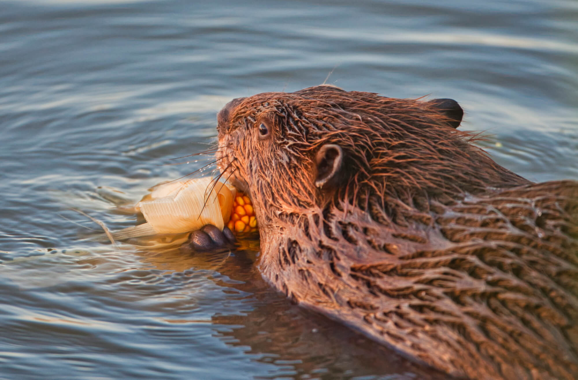 Beaver Eating Corn On The Cob