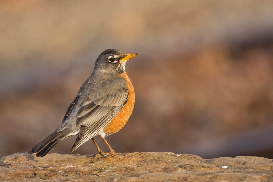 American Robin - Fort Smith National Historic Site - Arkansas
