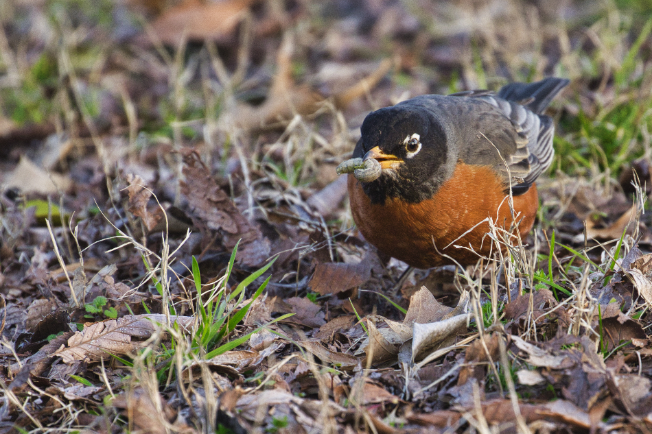 American Robin With Caterpillar - Fort Smith Historic Site - Arkansas
