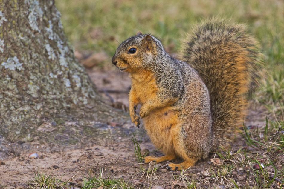 Fox Squirrel - Fort Smith Historic Site - Arkansas
