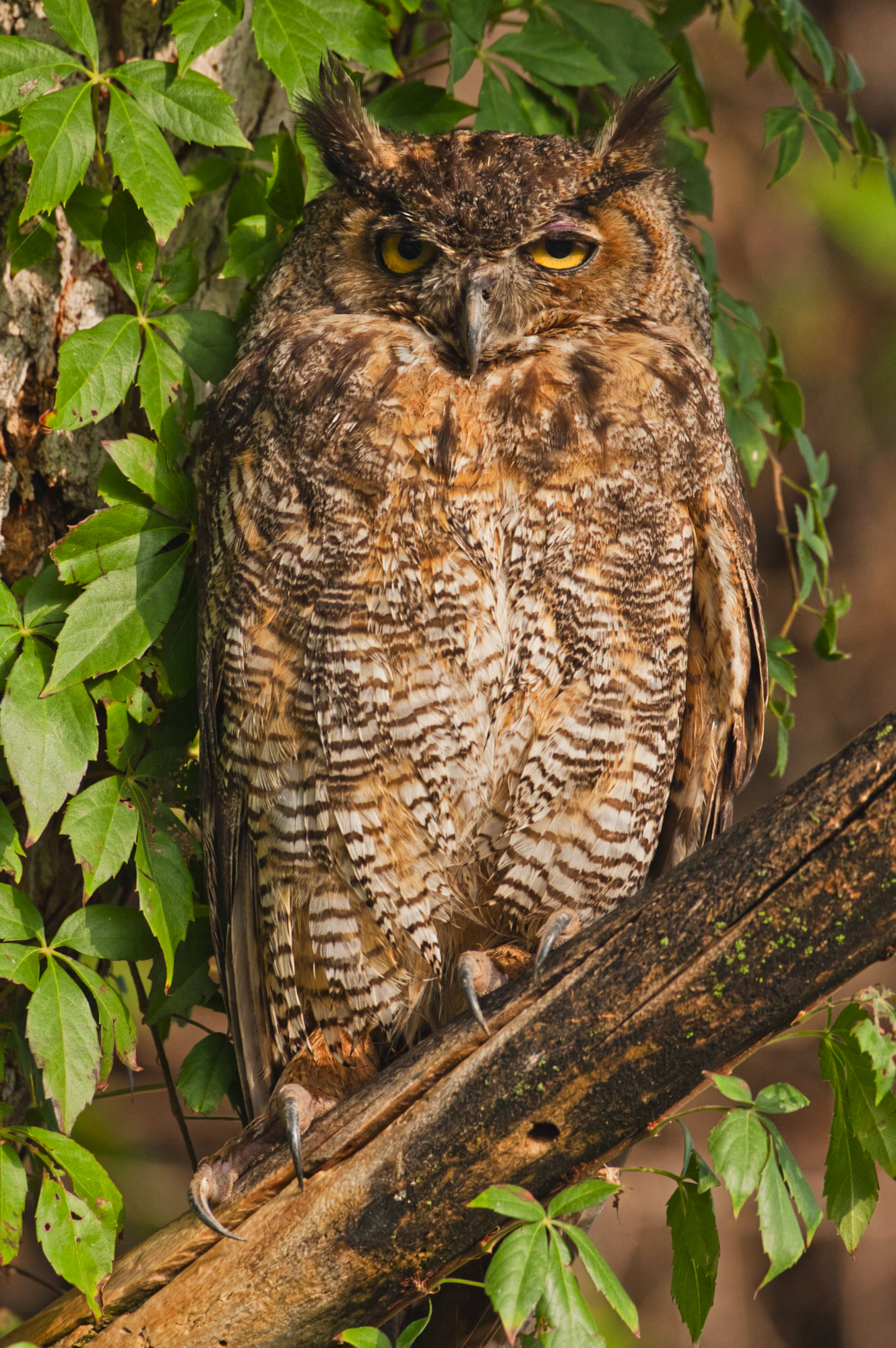 Great Horned Owl - Sequoyah National Wildlife Refuge - Oklahoma