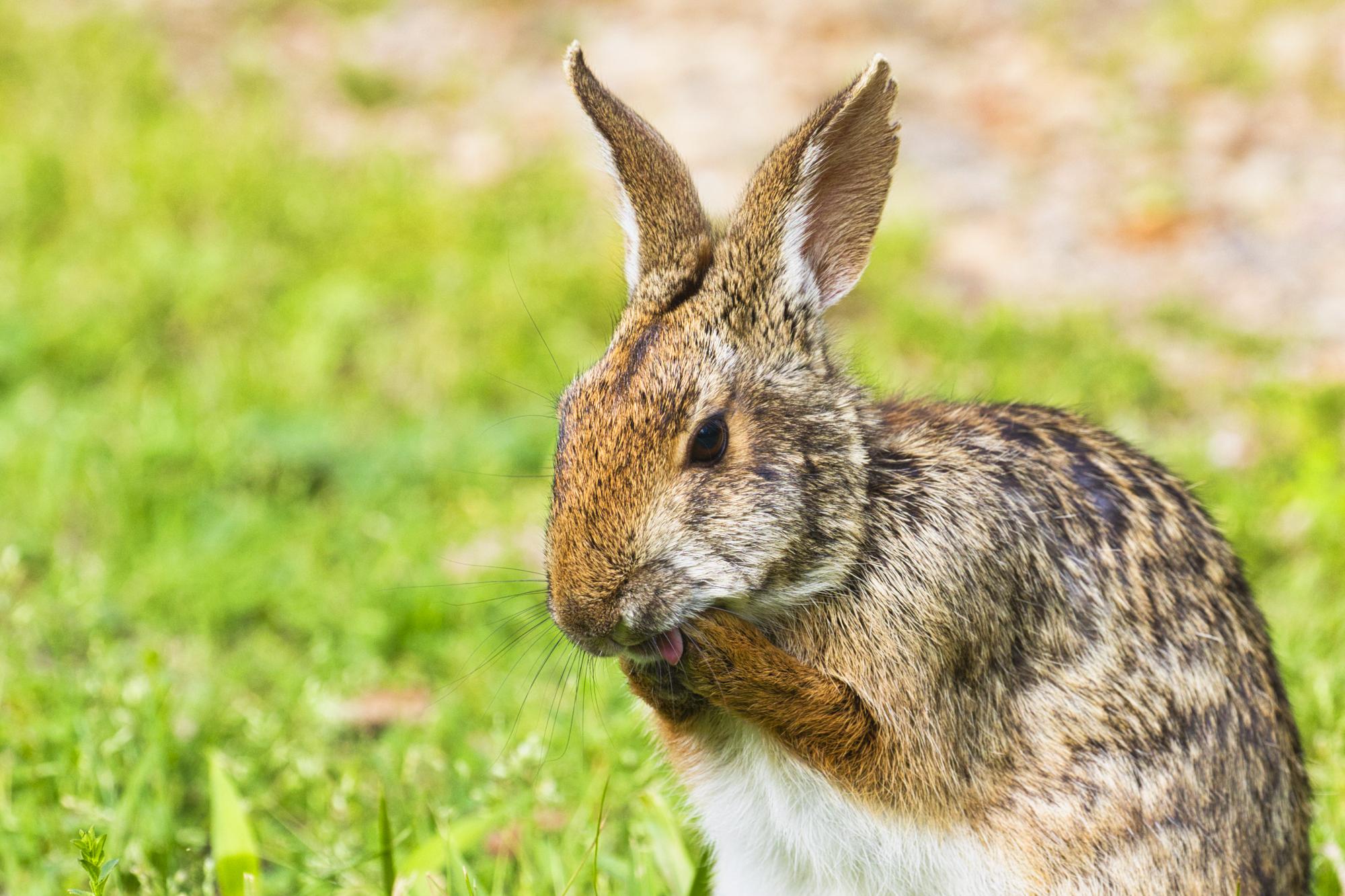 Swamp Rabbit Grooming Itself - Arkansas