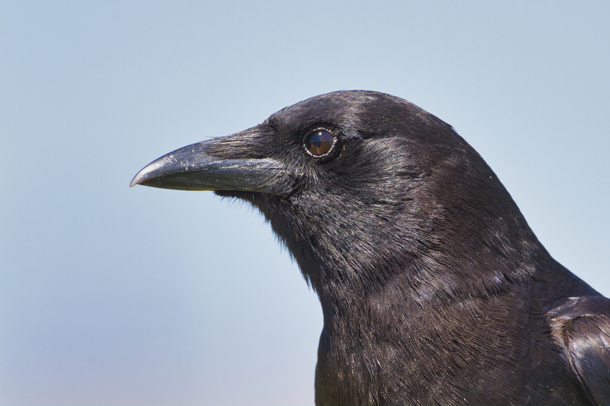 American Crow - Wichita Mountains Wildlife Refuge - Oklahoma