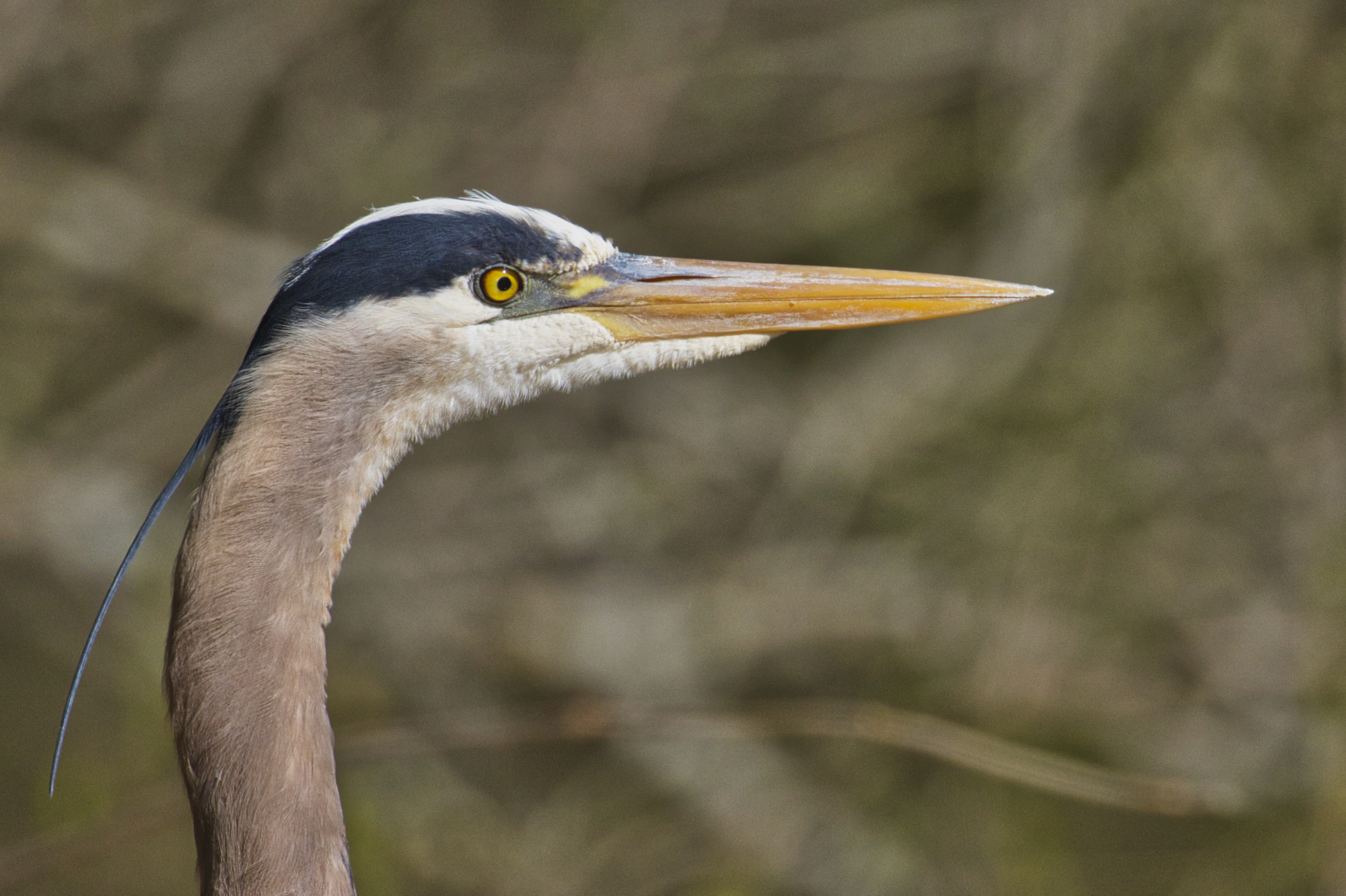 Great Blue Heron - Sequoyah National Wildlife Refuge - Oklahoma
