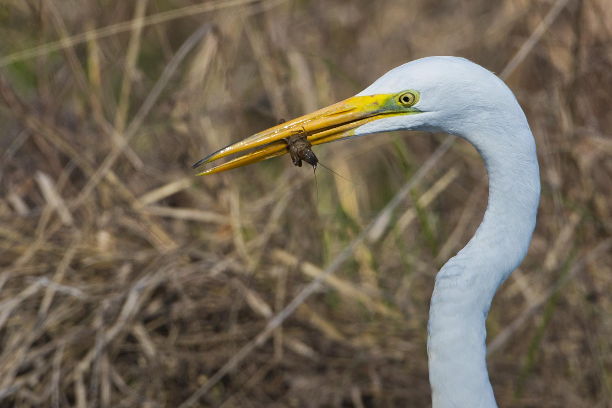 Great Egret - Sequoyah National Wildlife Refuge - Oklahoma