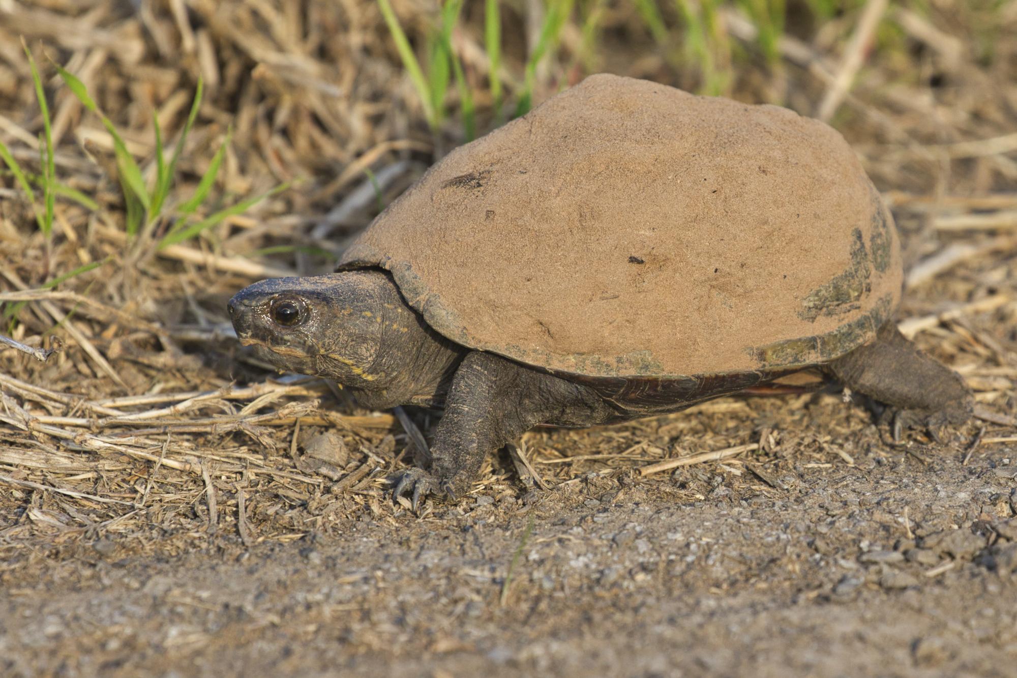 Mississippi Mud Turtle - Sequoyah National Wildlife Refuge - Oklahoma
