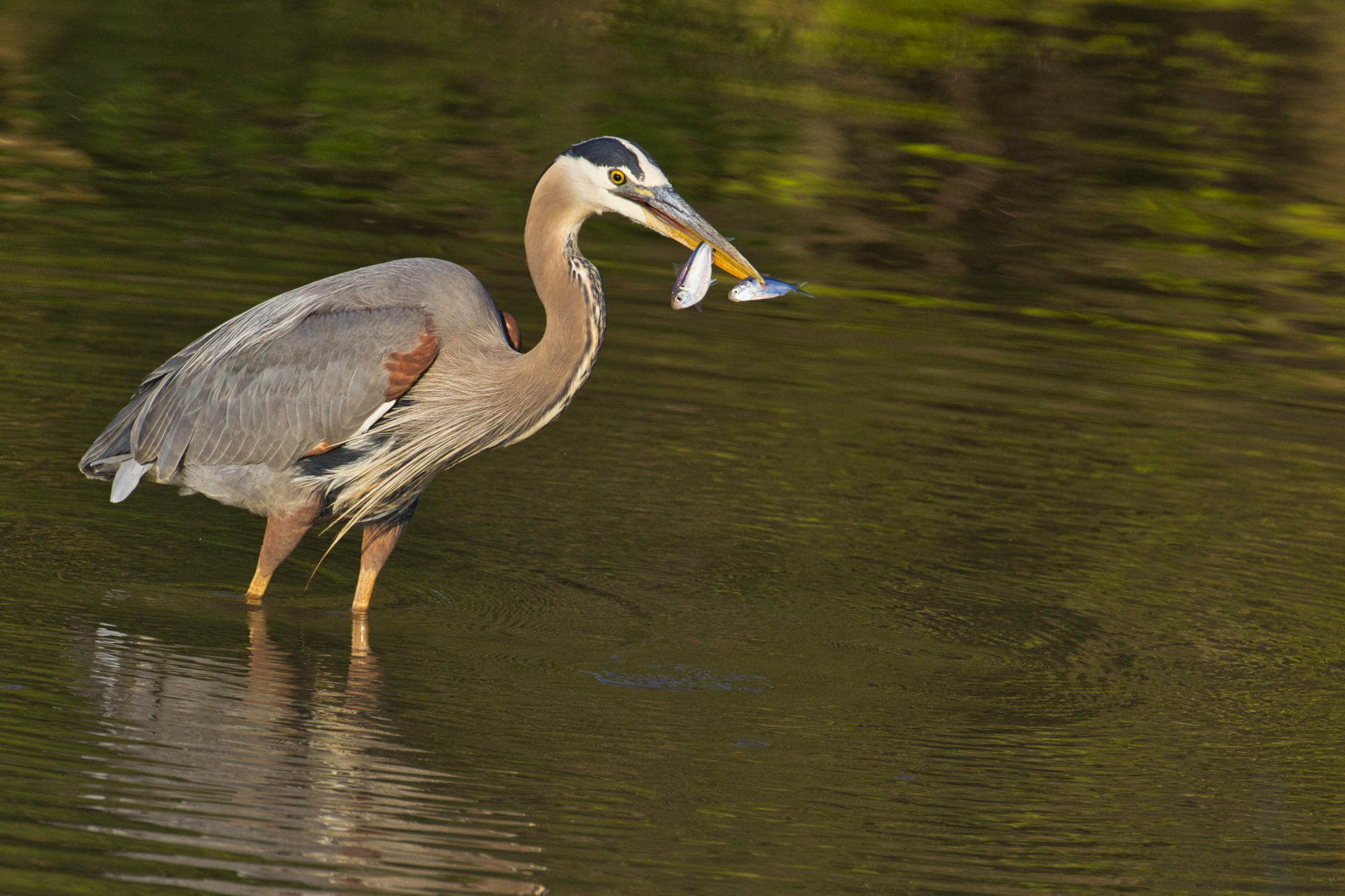 Great Blue Heron With Two Shad - Sequoyah National Wildlife Refuge - Oklahoma