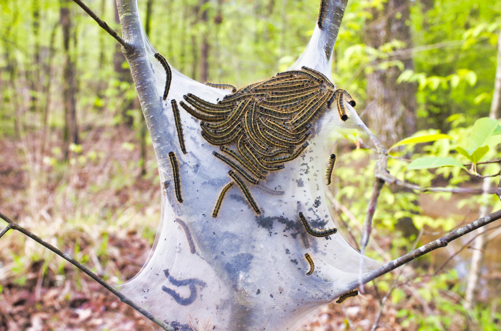 Eastern Tent Caterpillars - Ouachita National Forest - Arkansas