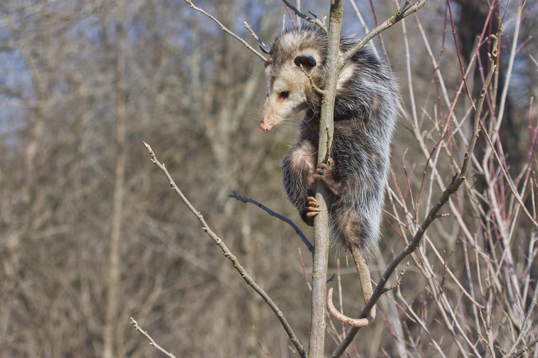 Opossum - Fort Chaffee - Arkansas