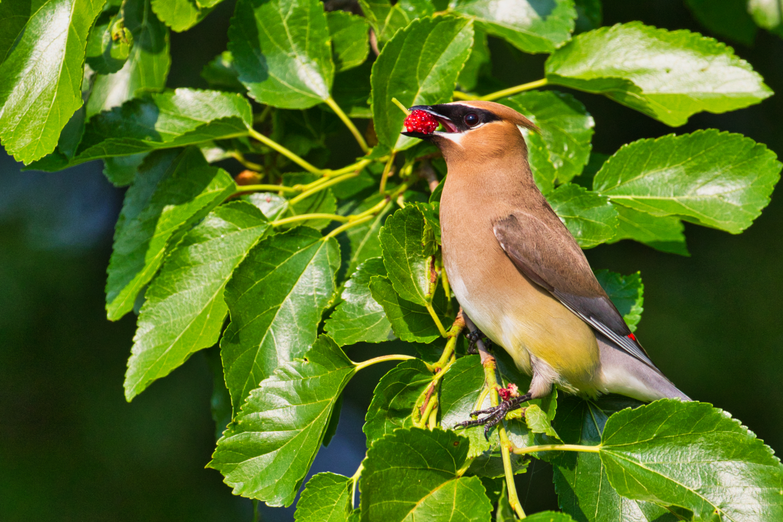 Cedar Waxwing Eating Mulberry - Sequoyah National Wildlife Refuge - Oklahoma