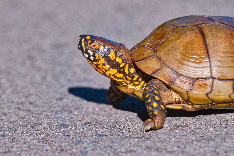 Three-Toed Box Turtle - Sequoyah National Wildlife Refuge - Oklahoma
