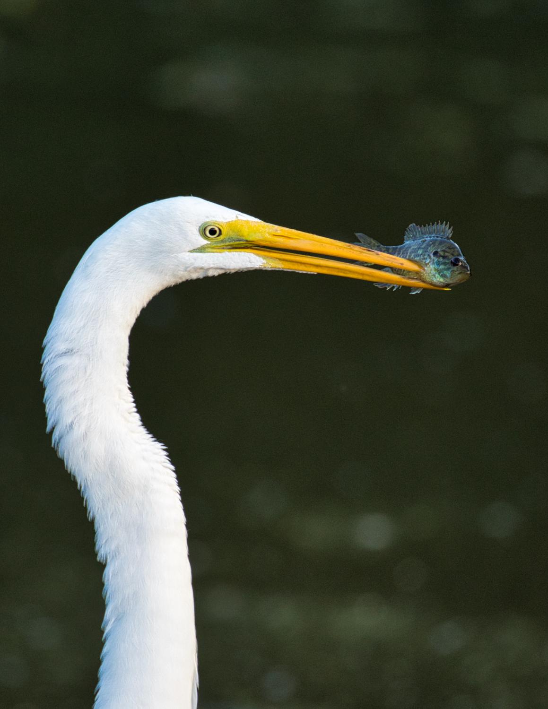 Great Egret With Sunfish - Sequoyah National Wildlife Refuge - Oklahoma