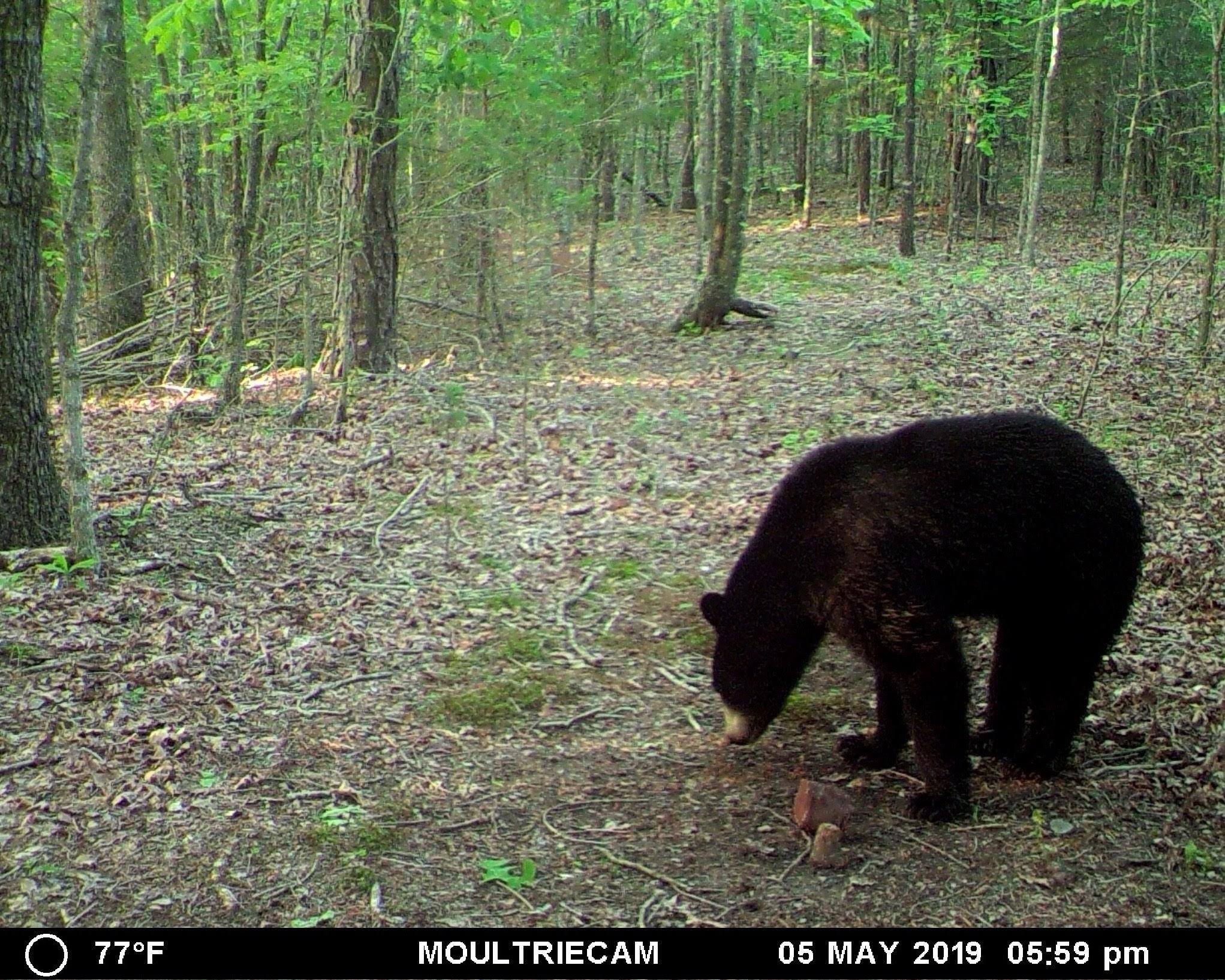 American Black Bear - Ouachita National Forest - Arkansas