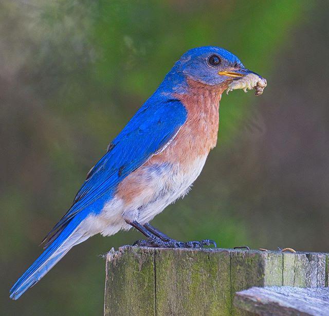 Eastern Bluebird in my yard #arkansas #birds #easternbluebird