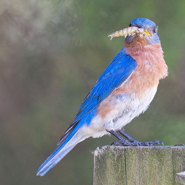 Eastern Bluebird #bird #easternbluebirds #arkansas