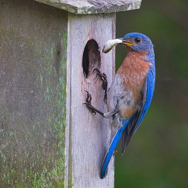 Eastern Bluebird Removing Fecal Sac. #bird #easternbluebird #arkansas #fujifilmxt3