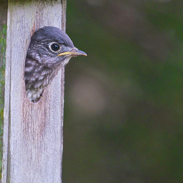 Eastern Bluebird Nestling #birds #easternbluebirds #arkansas