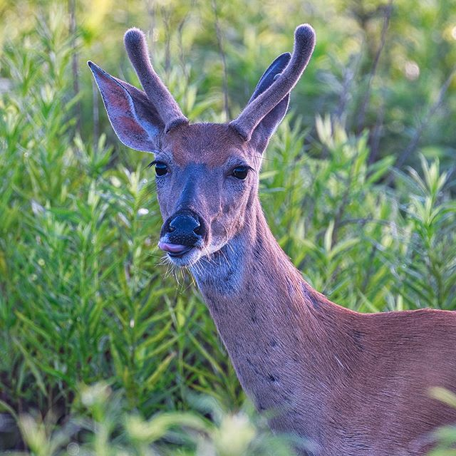 Whitetail Buck - Sequoyah National Wildlife Refuge - Oklahoma #deer #whitetail #sequoyahnationalwildliferefuge #oklahoma #nationalwildliferefuge