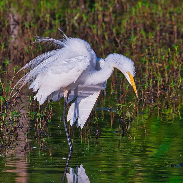 Great Egret - Sequoyah National Wildlife Refuge - Oklahoma #bird #nationalwildliferefuge #sequoyahnationalwildliferefuge #oklahoma #greategret