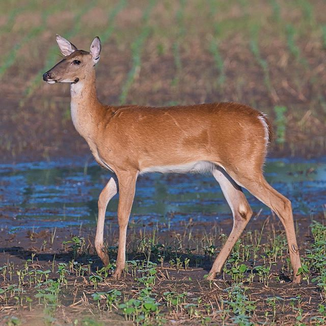 Whitetail Doe - Sequoyah National Wildlife Refuge - Oklahoma #deer #whitetail #oklahoma #nationalwildliferefuge #sequoyahnationalwildliferefuge
