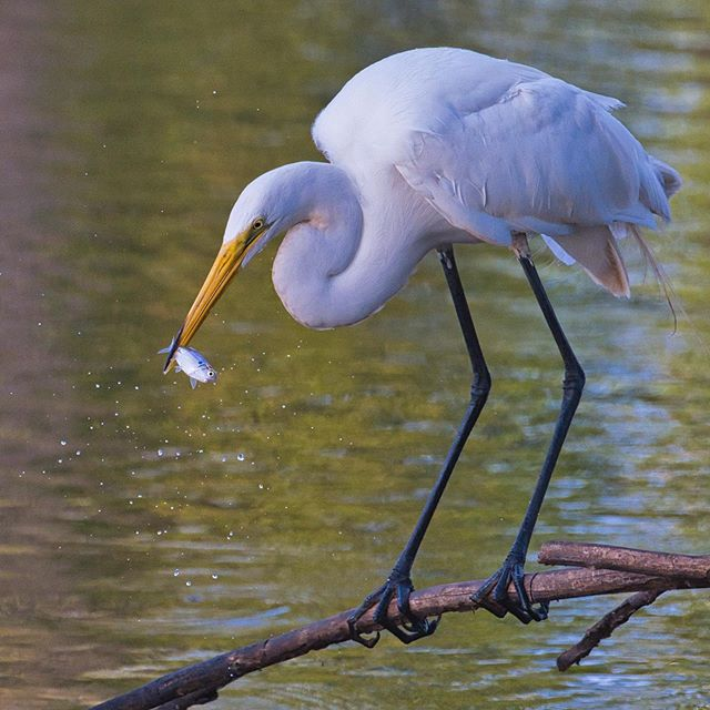 Great Egret With Fish - Sequoyah National Wildlife Refuge - Oklahoma #bird #greategret #nationalwildliferefuge #sequoyahnationalwildliferefuge #oklahoma