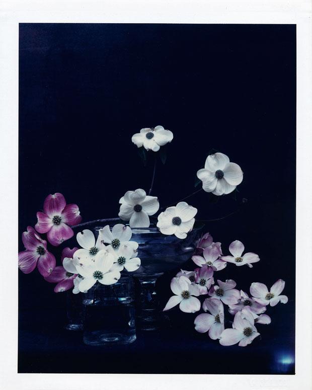 "DOGWOOD FLOWERS, 2001 8"" X 10"" POLAROID"