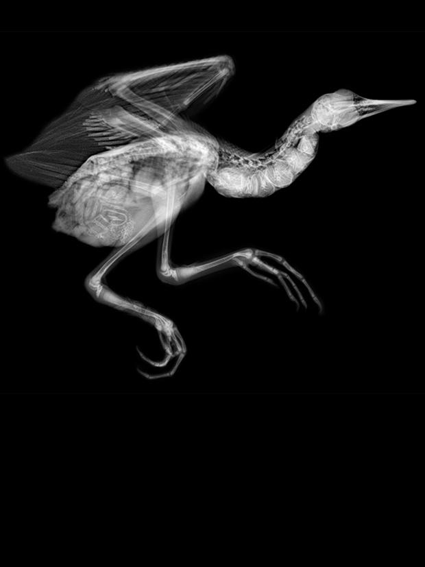 RUNNING BIRD, 2016  X-RAY ON DIGITAL UV PIGMENT ON ALUMINUM