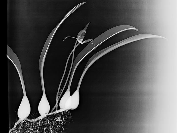 ROOTS, 2016  X-RAY ON DIGITAL UV PIGMENT ON ALUMINUM