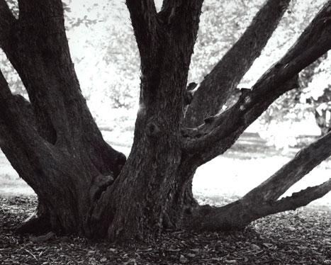 AMERICAN HOPHORNBEAM OSTRYA VIRGINIANA, 2012 GELATIN SILVER PRINT