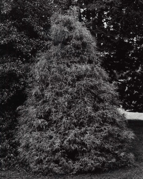 CHAMAECYPARIS PISIFERA - GOLD MOP CYPRESS, 2012 GELATIN SILVER PRINT