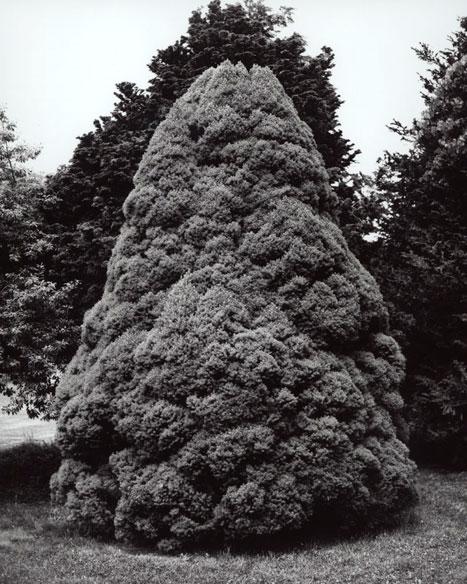 PICEA GLAUCA 'CONICA' - DWARF ALBERTA SPRUCE, 2012  GELATIN SILVER PRINT