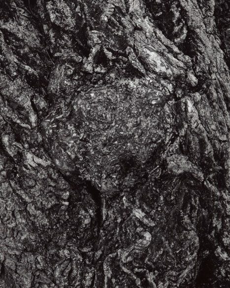 EUONYMUS BUNGEANA - WINTERBERRY EUONYMUS DETAIL, 2012  GELATIN SILVER PRINT
