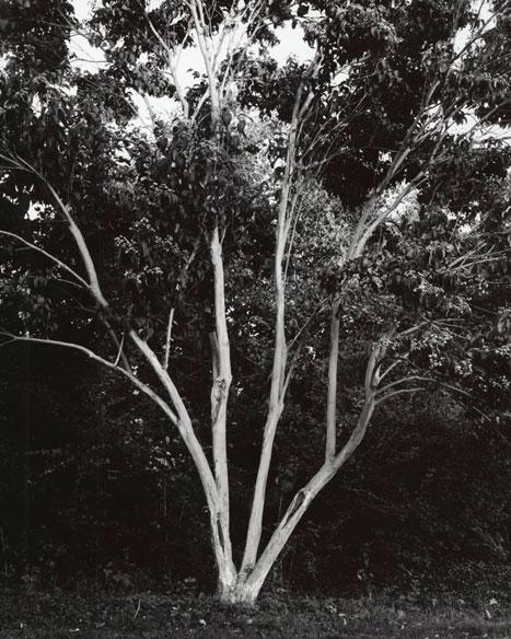 HEPTACODIUM MICONIOIDES - SEVEN-SON FLOWER, 2012  GELATIN SILVER PRINT