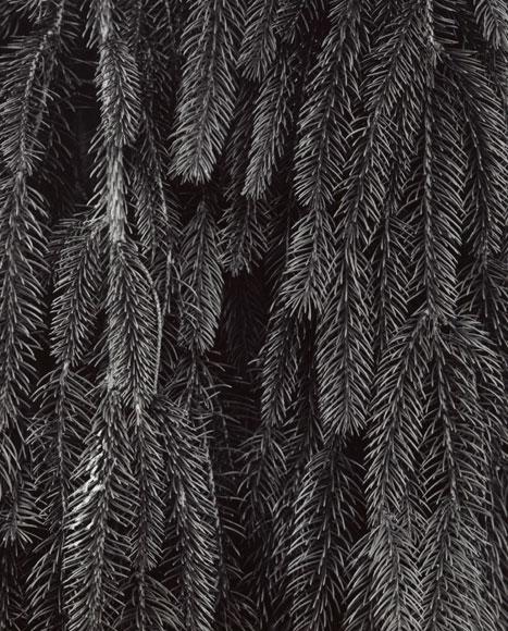 PICEA ABIES 'PENDULA' - WEEPING NORWAY SPRUCE DETAIL, 2012  GELATIN SILVER PRINT