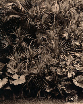 ROUSSEAU'S CLUMP, 2003    BROWN TONED/SILVER GELATIN
