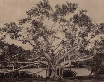 TUFTED FIG, 2004    BROWN TONED/SILVER GELATIN
