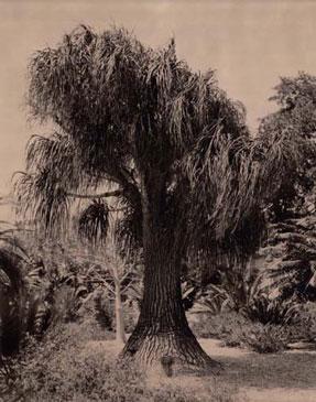 ELEPHANT FOOT TREE, 2004    BROWN TONED/SILVER GELATIN