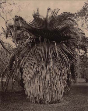 PETTICOAT PALM, 2004  BROWN TONED/SILVER GELATIN