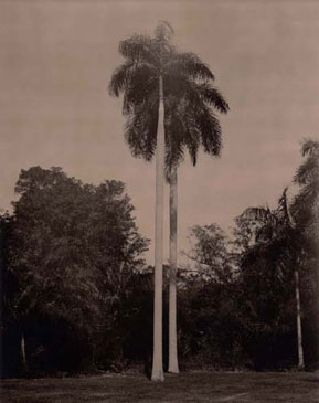ROYAL PALM, 2004  BROWN TONED/SILVER GELATIN