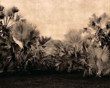 BISMARCK PALM, 2003  BROWN TONED/SILVER GELATIN