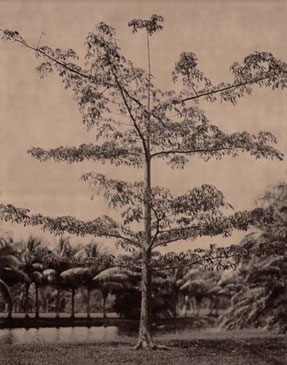 KAPOK TREE, 2004  BROWN TONED/SILVER GELATIN