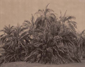SENEGAL DATE PALM, 2004  BROWN TONED/SILVER GELATIN